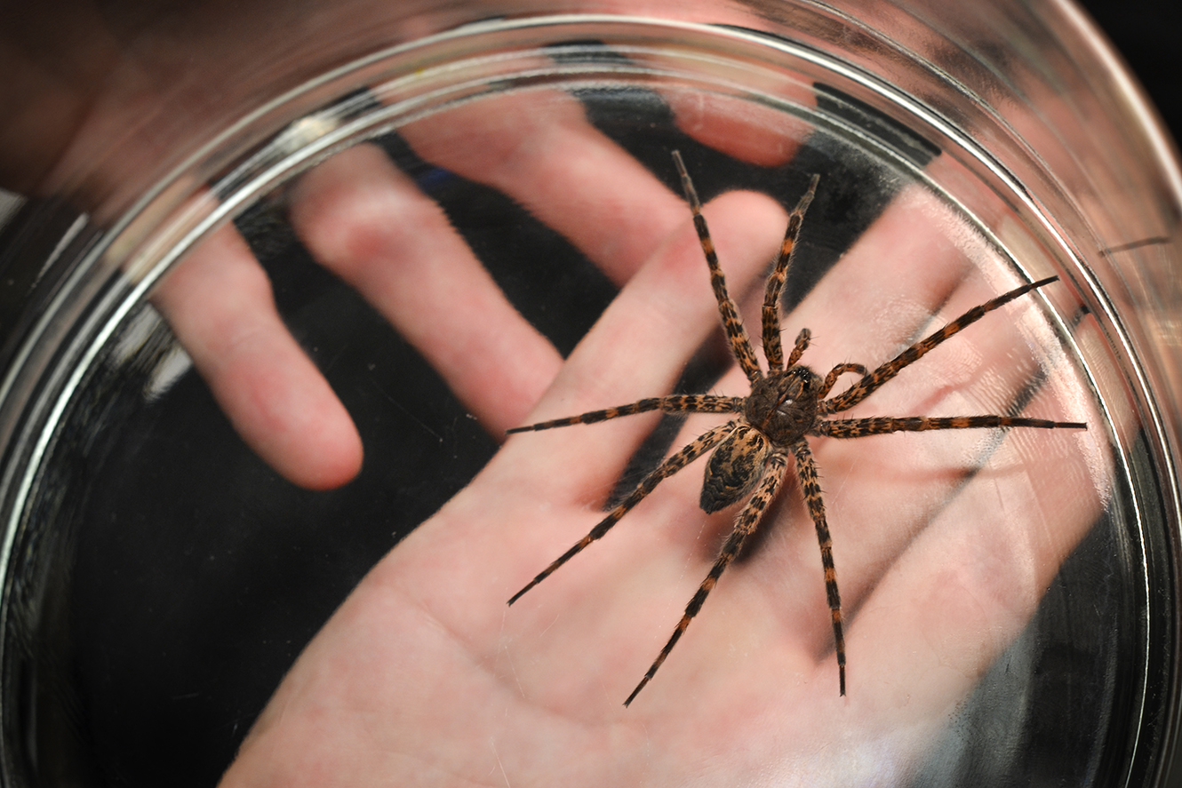 Genital mutilation, cannibalism part of spider's mating habits ...