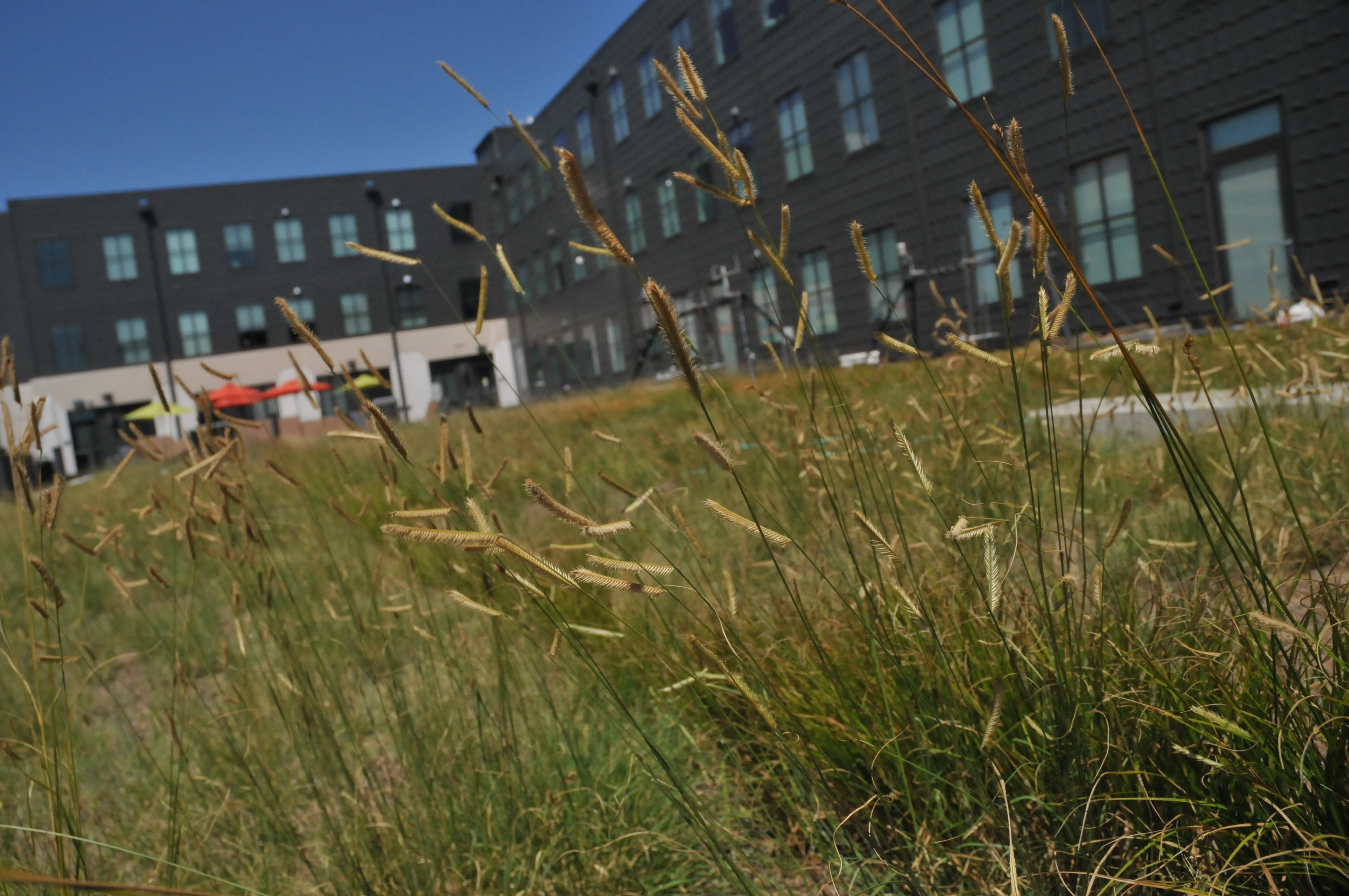Unl S Sutton Brings Native Grasses Flowers To Green Roofs