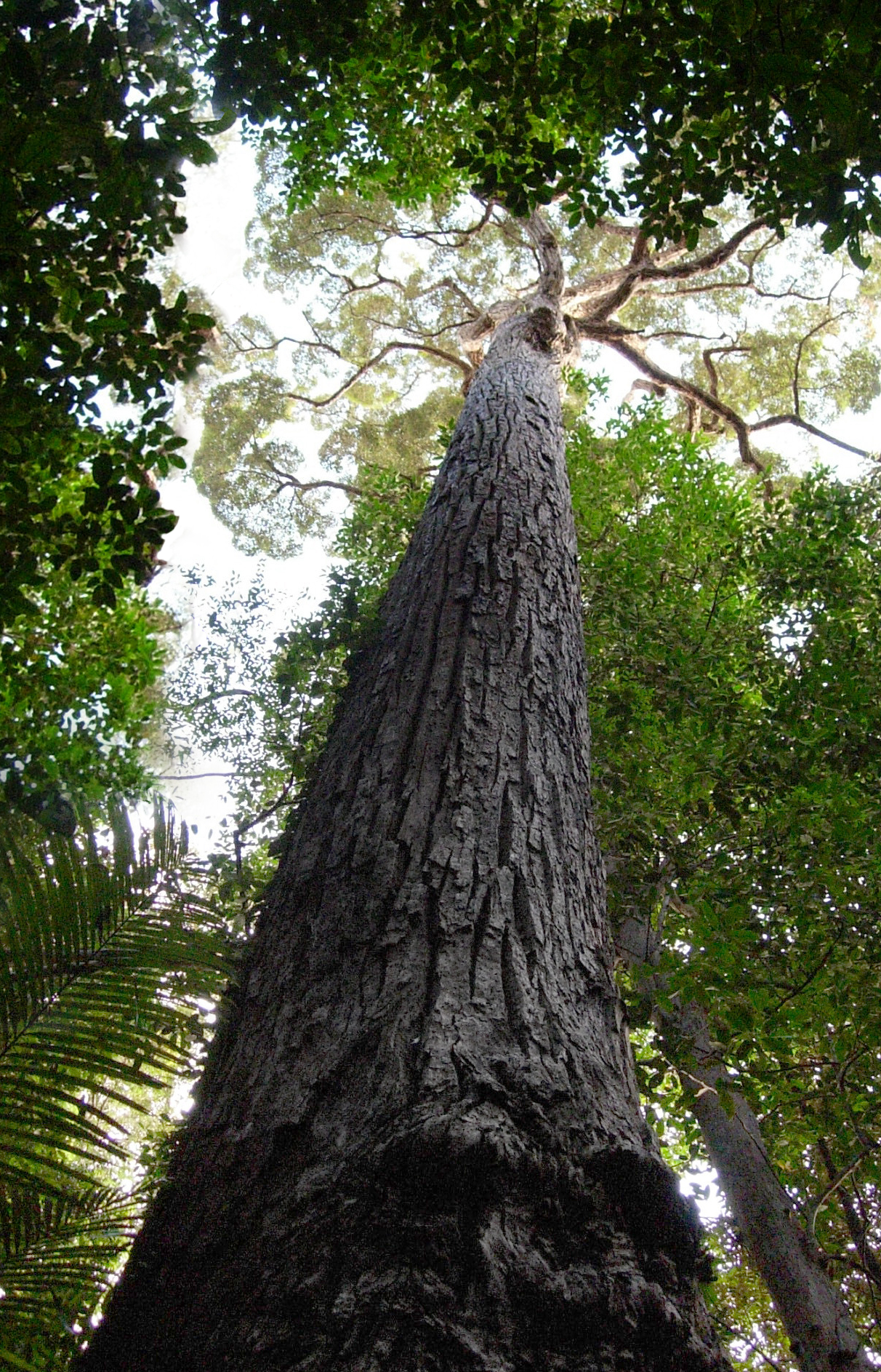 Study large older trees keep growing at a faster rate