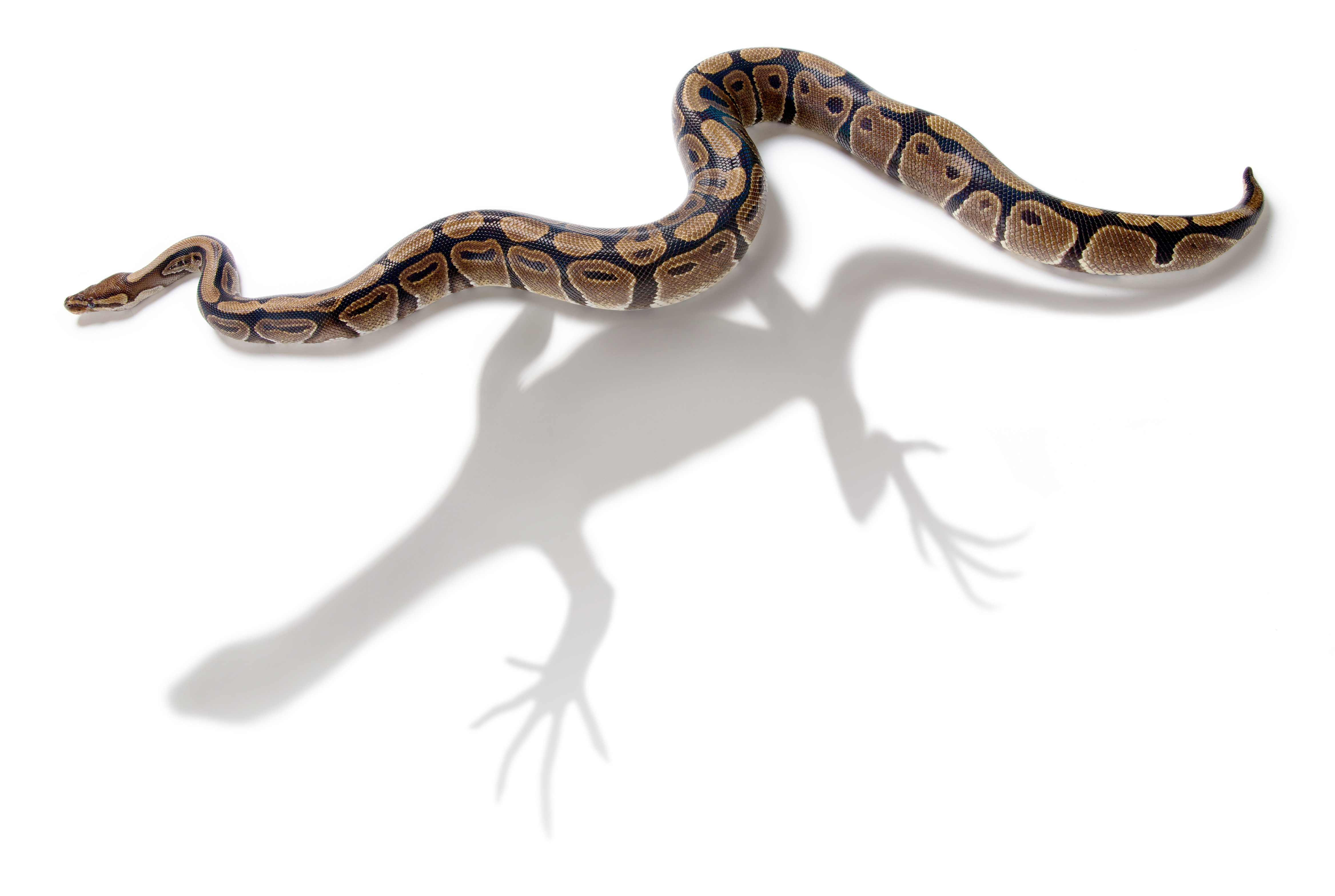the evolution of snakes from lizards The legless lizard is an entirely different creature from its slithery look-alike, the  snake learn about the legless lizard evolution and more.
