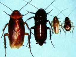 Cockroaches (left–right): American, Oriental, German and brownbanded (Photo by Jim Kalisch, UNL Dept. of Entomology).