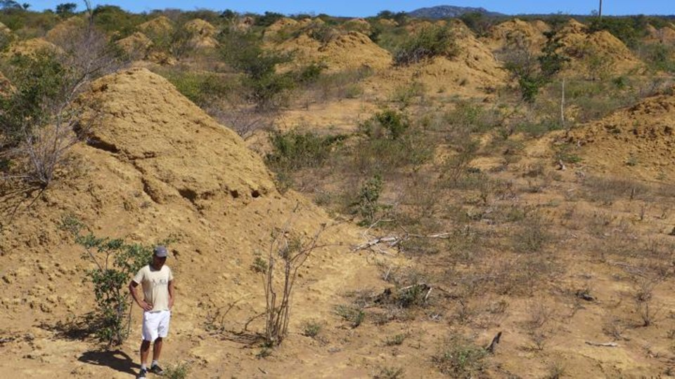 A researcher stands among the termite mounds in Brazil's Caatinga forest.