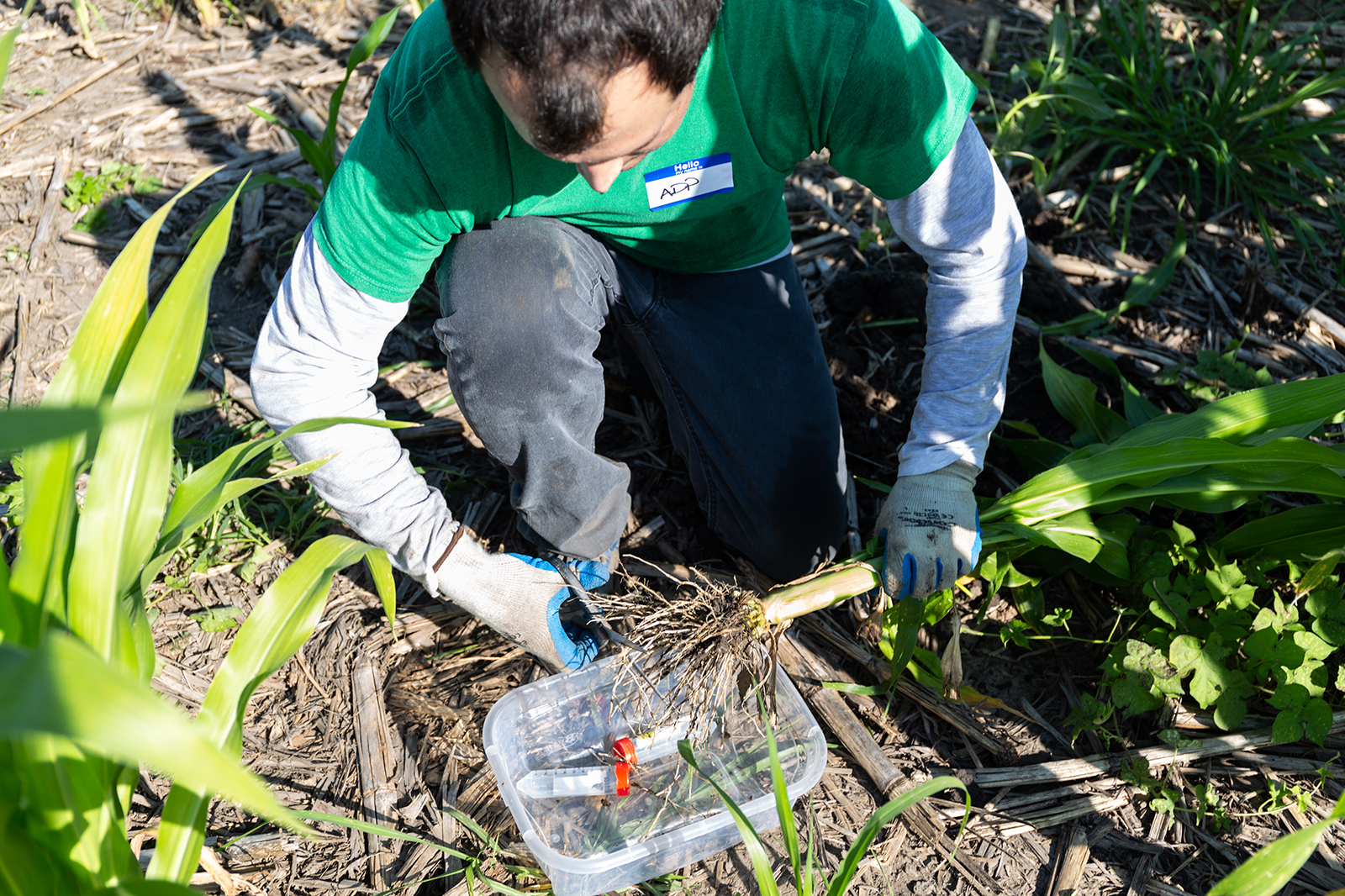 Alejandro Pages takes root samples from a research field as part of his Summer 2018 UCARE project with Dr. James Schnable.