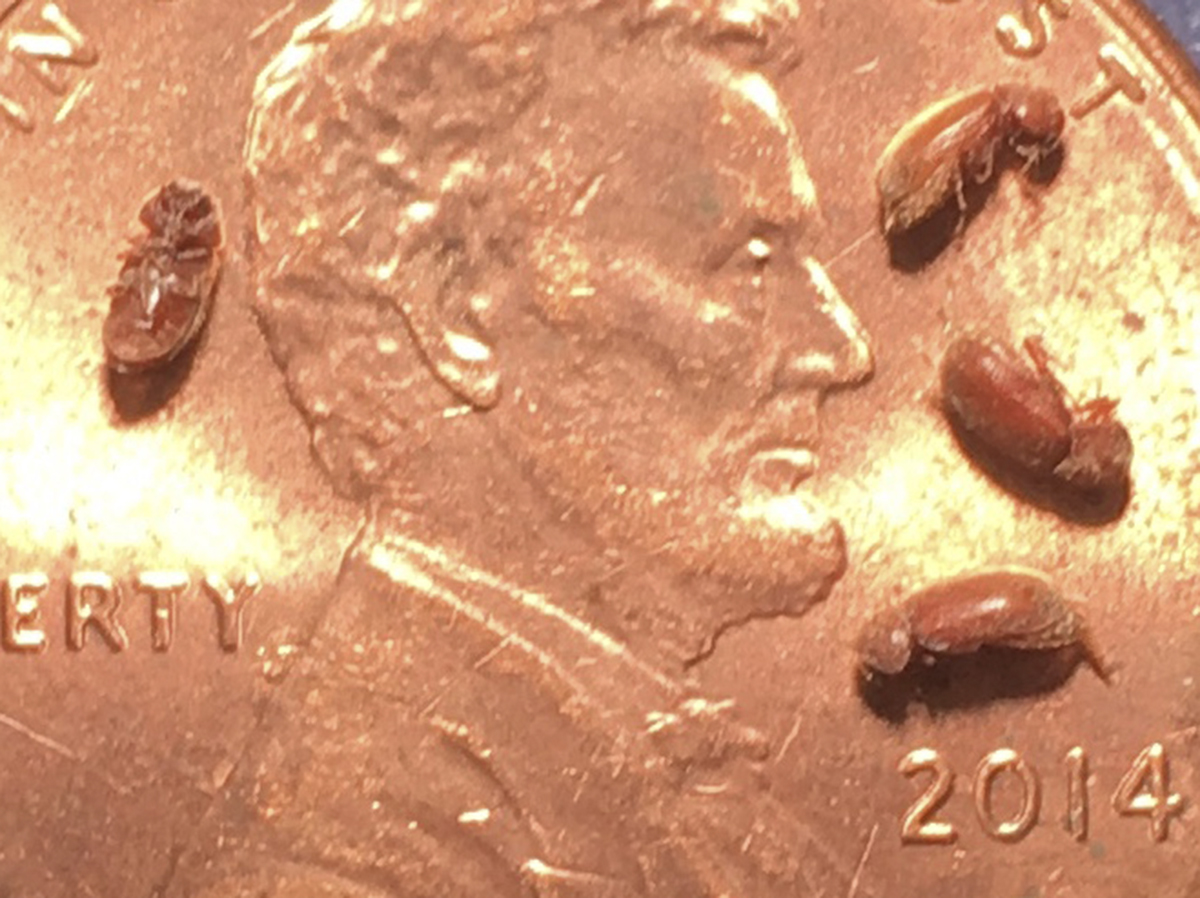 Drugstore adult beetles on a penny. (Photo by Jody Green, Nebraska Extension in Lancaster County)