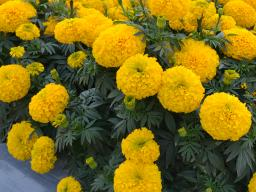 Marigold  'Big Duck Gold' (Photo courtesy All-America Selections)