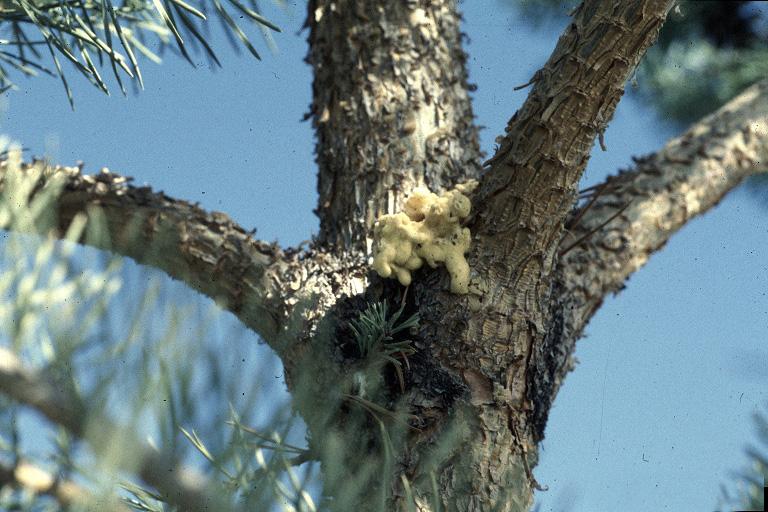 Zimmermanpine moth pitch mass (Photo by Whitney Cranshaw, Colorado State University, Bugwood.org)