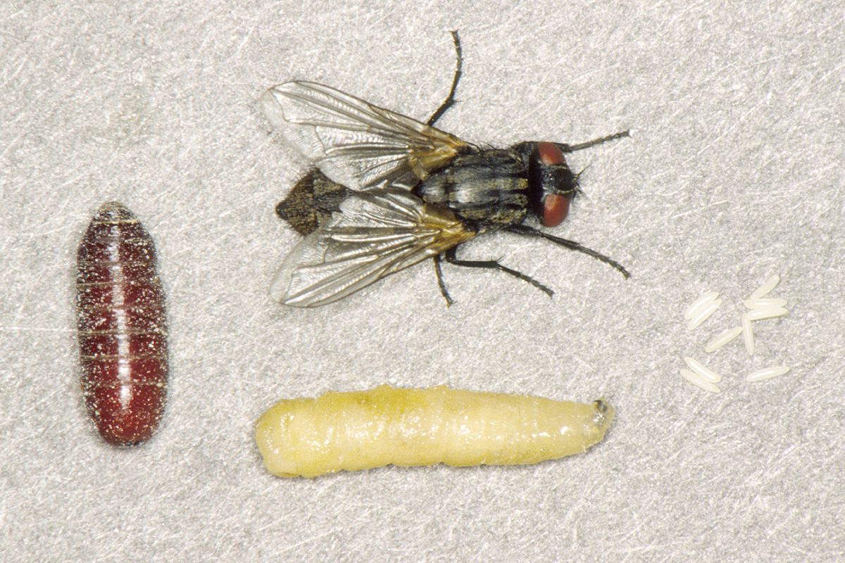 House fly with different stages: egg, larva/maggot, pupa/puparium, adult (magnified). (Photo by UNL Department of Entomology)