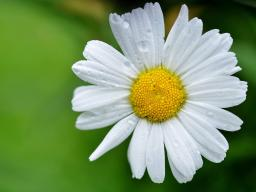 daisy-flowers-meadow-summer-meadow-68196.jpeg