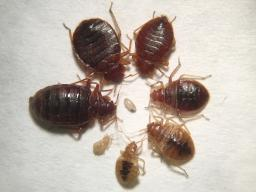 Various life stages and feeding status of bed bugs (magnified). (Photo by Jody Green, Nebraska Extension in Lancaster County)