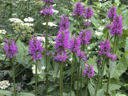 "Stachys 'Hummelo"" (Photo courtesy of Perennial Plant Association)"