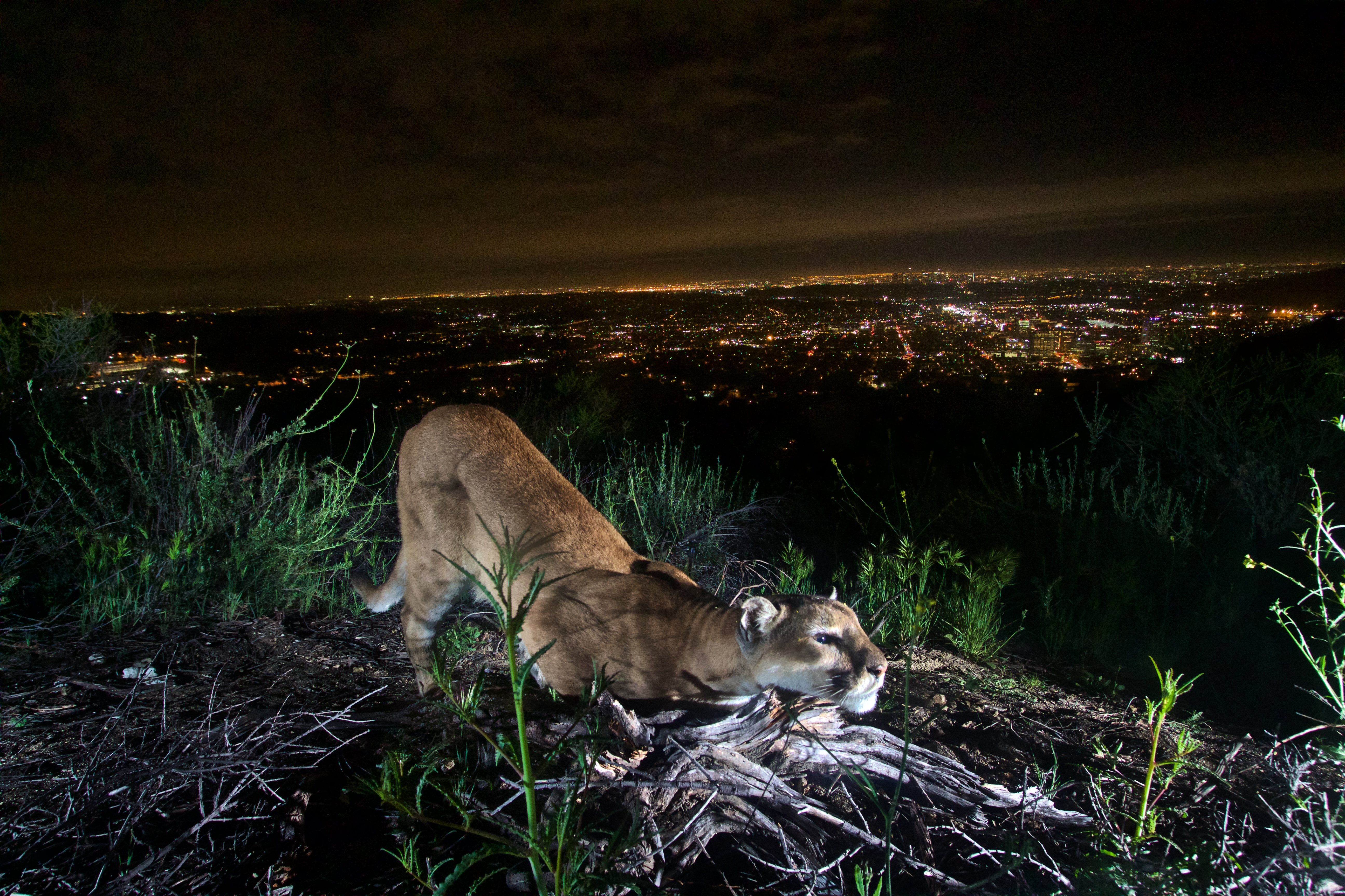 The city of Los Angeles is visible in the background behind a mountain lion in the Verdugos Mountains. | Photo courtesy of the National Park Service