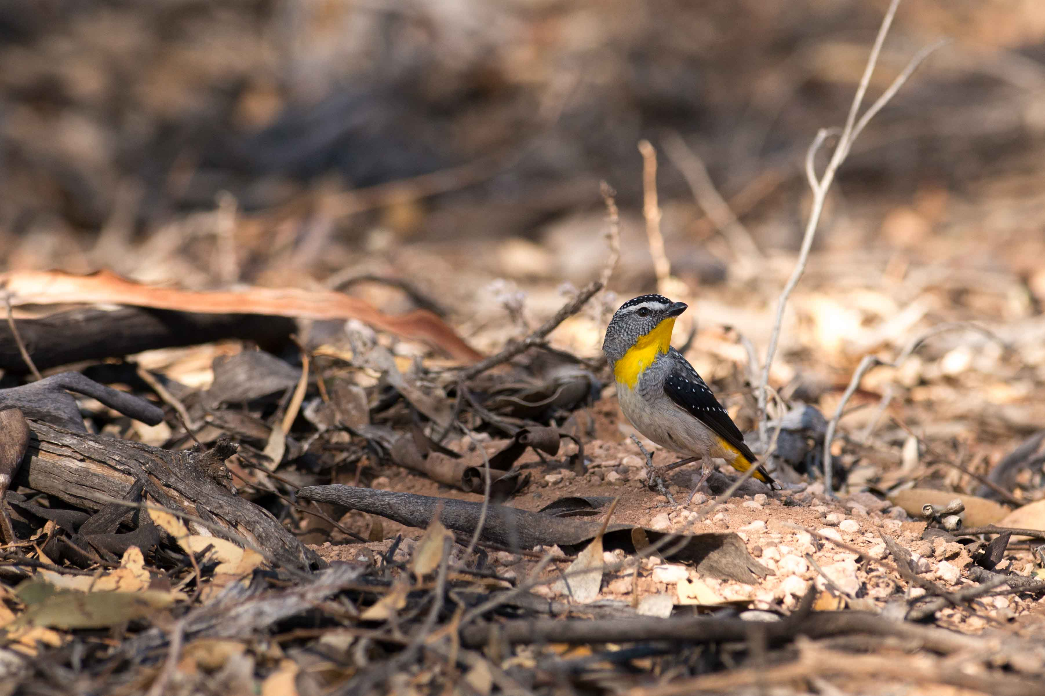 A male spotted pardalote (one of the study species) is shown outside a nest at the field site in Brookfield Conservation Park, Blanchetown, South Australia.   Photo courtesy Allison Johnson