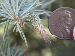 Bagworm size in mid-July on a blue spruce. (Photo by Vicki Jedlicka, Nebraska Extension in Lancaster County)