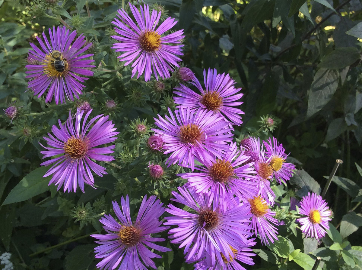 New England aster (Photo by Mary Jane Frogge, Nebraska Extension in Lancaster County)