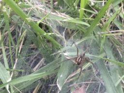 Grass spider on its sheet web in grass. (Photo by Jody Green)