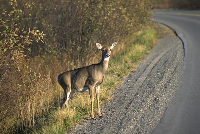 Deer_whitetail.jpg