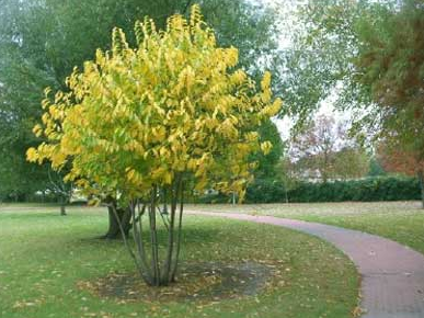 A pawpaw tree in autumn. The tree is one of many varieties available at the Sept. 24 plant sale.