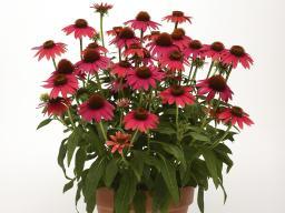 Echinacea (Coneflower)  'Sombrero Baja Burgundy'(Photo courtesy All-America Selections)