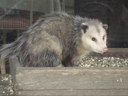 Animals like opossums are attracted  to birdseed on the ground or within  easy reach. (Photo by Soni Cochran, Nebraska Extension in Lancaster County)