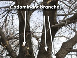 Ideally, lower branches should be removed gradually during the first 25 years of a tree's life to prevent the need for removal of very large branches. (Photo by Vicki Jedlicka, Nebraska Extension in Lancaster County)