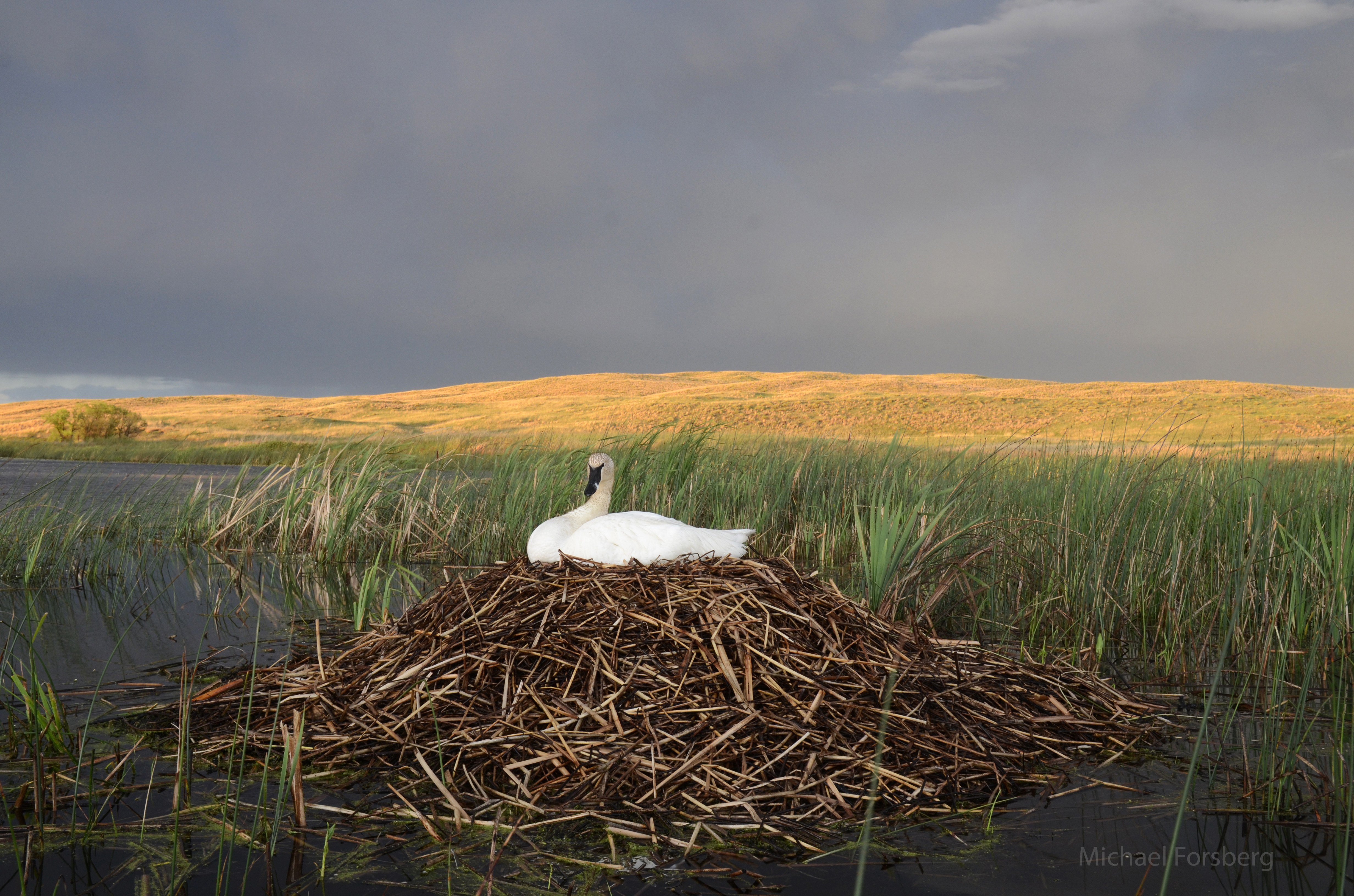 Photographer Michael Forsberg shares a story and collection of photos (including this one) about the reintroduction of trumpeter swans in the Nebraska Sandhills in the latest Platte Basin Timelapse project.