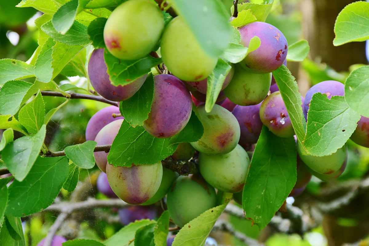 Immature plums change color as they ripen. (Photo by Pixabay)