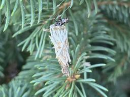 Bagworm feeding on spruce tree in mid-July. (Photo by Mary Jane Frogge)