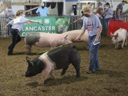 4-H/FFA Swine Show at 2020 Super Fair