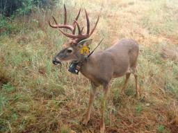 Jana Malene's Undergraduate Creative Activities and Research Experience project evaluated space use patterns of 12 animals, including white-tailed deer. Courtesy photo