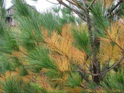 Yellow needles from natural needle drop, as seen on this white pine, should not be mistaken for a pest problem.