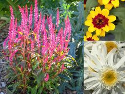 (L–R) Celosia, Candela Pink; Zinnia, Profusion Red Yellow Bicolor and Leucanthemum, Sweet Daisy Birdy (Photos courtesy All-America Selections)