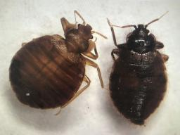 Bed bug (left) and bat bug (right). (Photo by Kait Chapman)