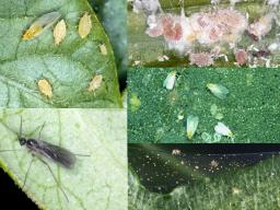 (Clockwise from upper left) Aphids, mealybugs, whiteflies, spider mites and fungus gnat.