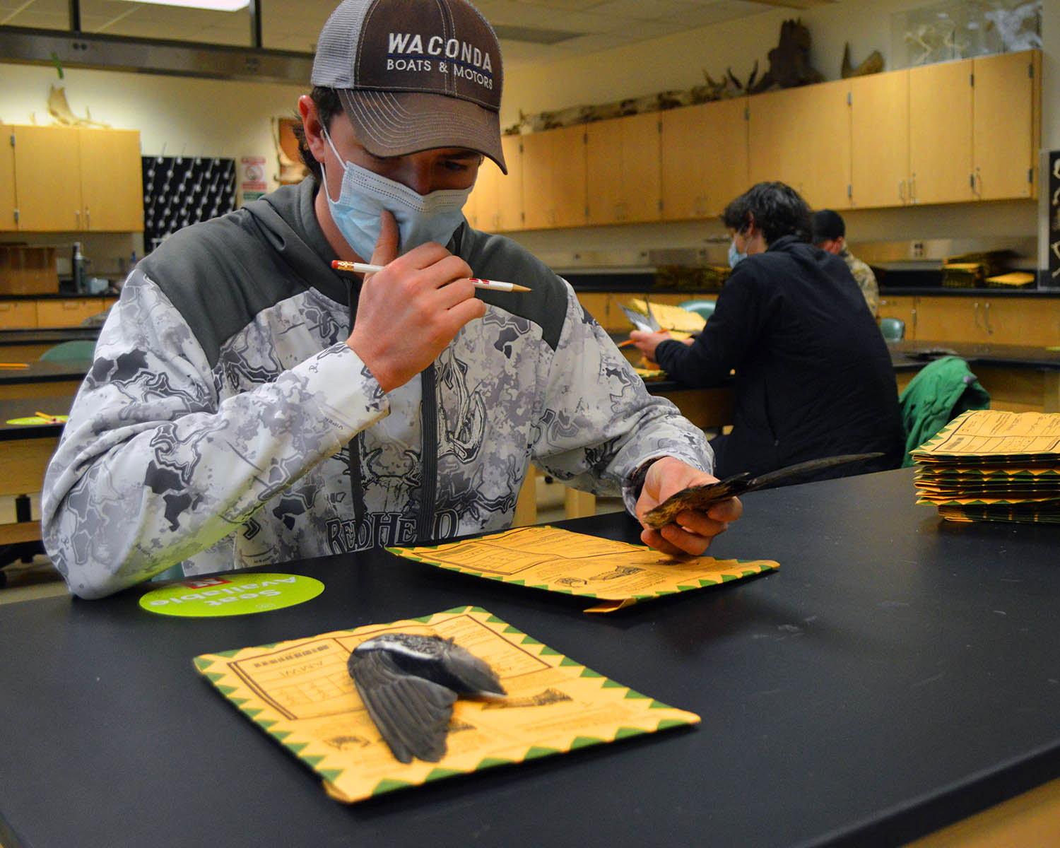 School of Natural Resources junior Hunter Suchsland considers the markings on a wigeon's wing before determining if it belonged to an immature or mature male or female. Due to the coronavirus, the Central Flyway Wingbee in Kansas was canceled this year a