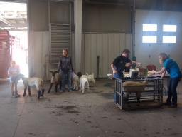 2019 Sheep & Meat Goat Weigh-in