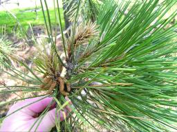 """Death of new pine shoots, also called """"candles,"""" are a symptom used to identify Diplodia tip blight. (Inset photo) Very serious Diplodia infection can result in death of entire branches."""