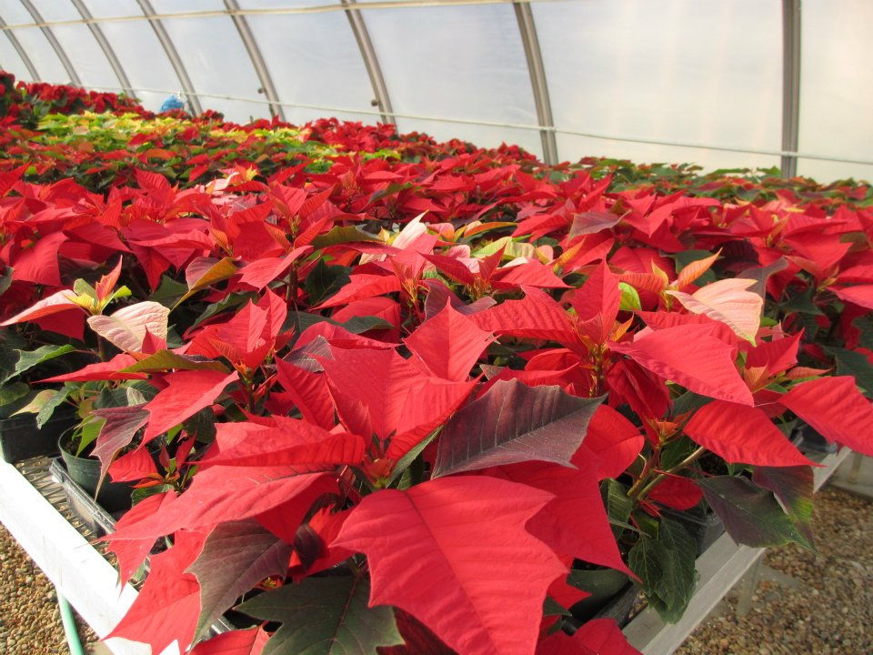 The annual UNL Horticulture Club's poinsettia sale is 8 a.m. to 4:30 p.m., Dec. 7 and 8 in the Nebraska and East unions.