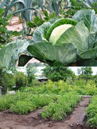 Follow an early-season planting of cabbage by heat-loving crops, such as Swiss chard, summer squash or bean. Wide-row planting of tomatoes makes more efficient use of garden space, than single hill plantings. Photos by Pixabay.