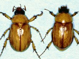 Masked Chafer Adults - Center photo