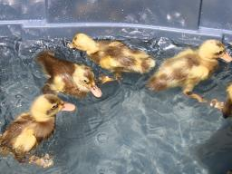 Pencil Runner ducklings