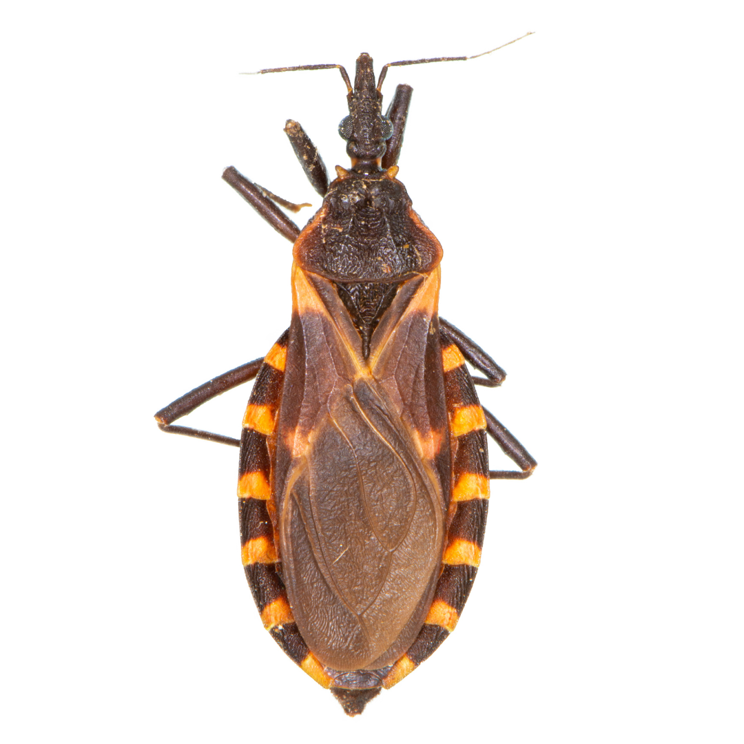 Kissing bug adult (magnified) (photo by Kyle Koch, UNL Dept. of Entomology)