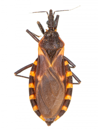 Kissing bug adult (magnified)