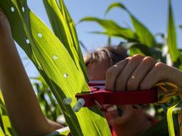 Sierra Conway, an undergraduate at UNL, collects RNA from a set of diverse corn varieties. Craig Chandler | UNL
