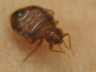 Bedbugs are a pest that have been around for thousands of years.