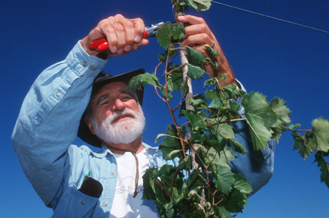 Paul Read, director of the University of Nebraska's viticulture program, prunes grapevines at a research site in Nemaha County in this file photo.