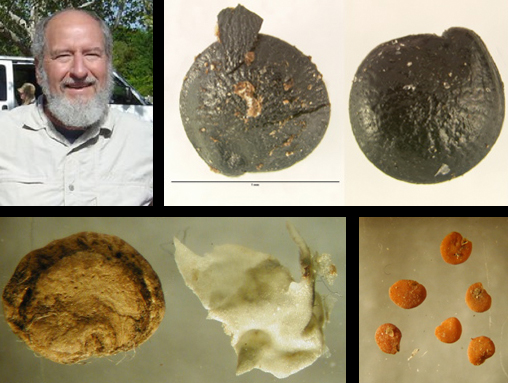 Research led by UNL's Karl Reinhard utilized fossilized feces to examine the link between Native Americans and diabetes. Pictured is Reinhard; black chenopodium seeds; orange wolfberry seeds; and a seed and tissue from a prickly pear.