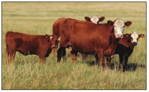 Estrous synchronization is an important tool for beef producers.