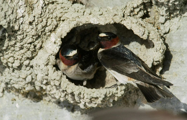 Cliff swallows living near highway overpasses have a better chance of avoiding traffic than in the past because of a shorter wingspan that now helps them dodge approaching traffic. (Charles Brown, Mary B. Brown / Current Biology)
