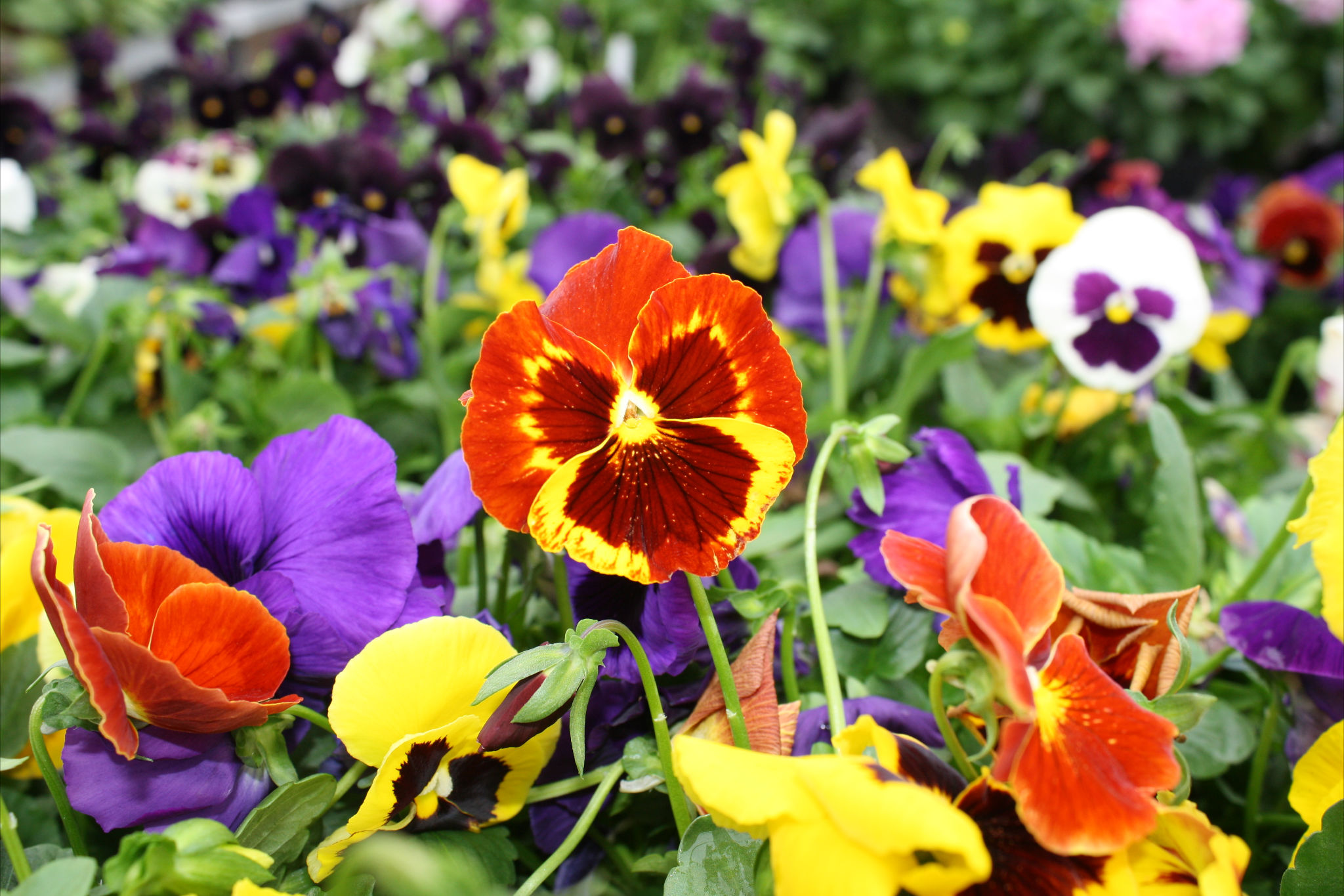 Pansies at the Horticulture Club spring Sale