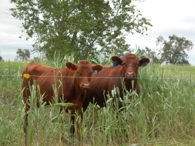 Cattle grazing phragmites.  Photo courtesy of Steve Young.